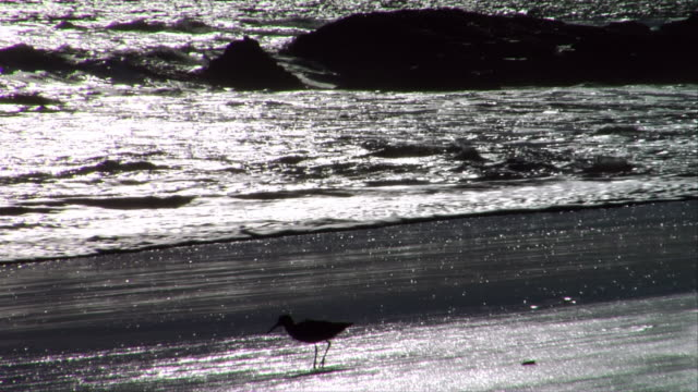 stockvideo's en b-roll-footage met ms, silhouette of willet feeding at water's edge at sunset, leo carrillo state park, california, usa - noordelijke grote oceaan