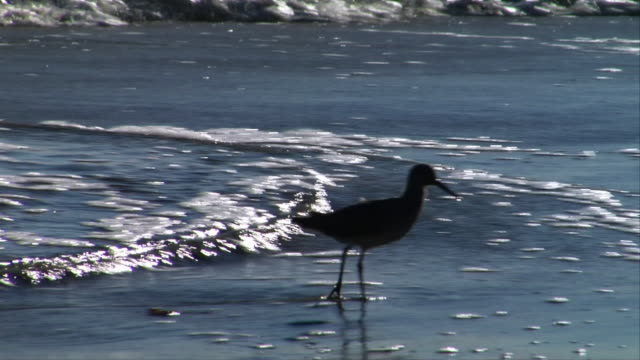 MS, Silhouette of willet feeding at water's edge, Leo Carrillo State Park, California, USA