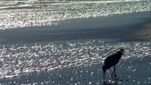 vidéos et rushes de ms, silhouette of willet feeding at water's edge, leo carrillo state park, california, usa - océan pacifique nord