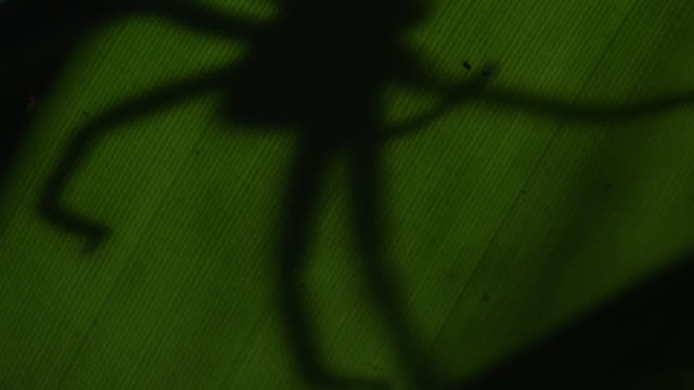 """""""silhouette of wolf spider (lycosidae) under leaf in forest at night, philippines"""" - south east asia stock videos & royalty-free footage"""