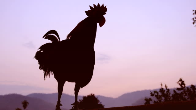 silhouette rooster crowing in the morning - chicken bird stock videos and b-roll footage