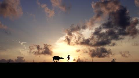 stockvideo's en b-roll-footage met silhouet scène van de boeren voor hun buffels op platteland in de ochtend wandelen. - stier mannetjesdier