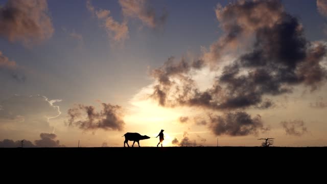 silhouette scene of farmers walking in front of their buffaloes in countryside in the morning. - produttore video stock e b–roll