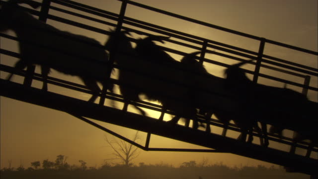 Silhouette shot of a herd of goats moving up a ramp to a transport lorry.