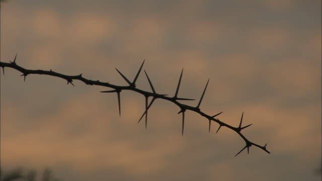 silhouette shot of a thorny branch of an acacia tree at dusk.  - thorn stock videos & royalty-free footage