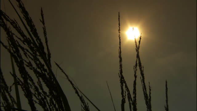 silhouetted ammophila/tall grass moving on wind with bright yellow sun in gray sky - reed grass family stock videos & royalty-free footage