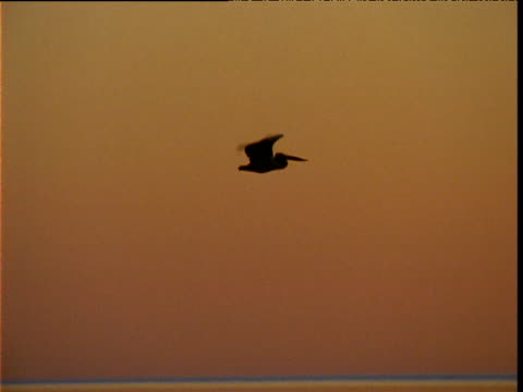 Silhouetted Australian pelican flies at sunset, Lake Eyre, South Australia