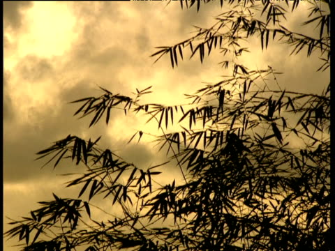 silhouetted bamboo leaves blow in wind at sunset windward islands - bamboo plant stock videos and b-roll footage