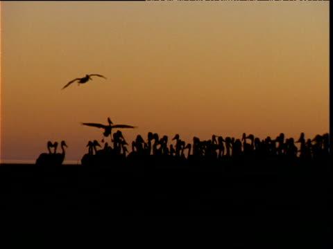 vidéos et rushes de silhouetted colony of australian pelicans at sunrise, lake eyre, south australia - colony