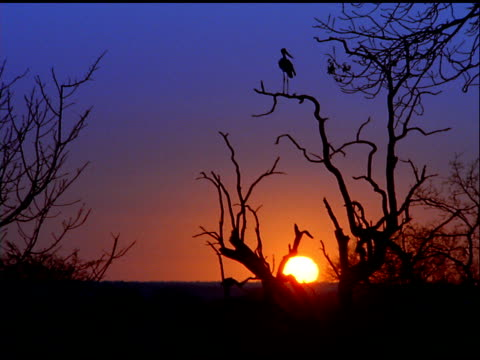 silhouetted crane looks around while standing on tree branch at sunset, botswana - eurasischer kranich stock-videos und b-roll-filmmaterial