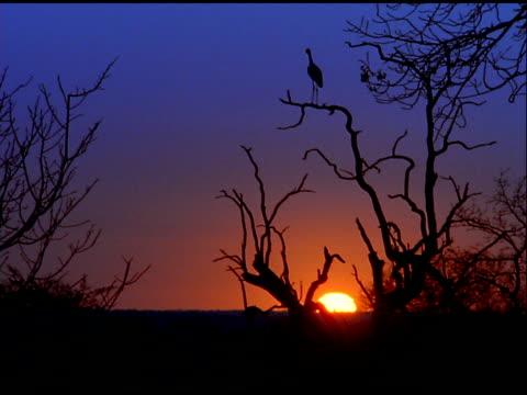 silhouetted crane scratches itself while standing on tree branch at sunset, botswana - eurasischer kranich stock-videos und b-roll-filmmaterial