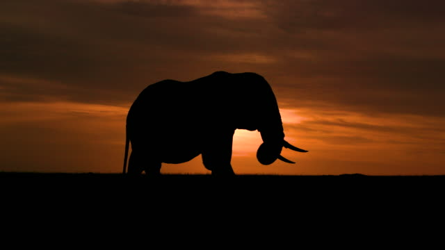 silhouetted elephant grazing with dramatic sky maasai mara, kenya, africa - wildtier stock-videos und b-roll-filmmaterial