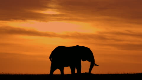 silhouetted elephant grazing with dramatic sky maasai mara, kenya, africa - africa stock videos & royalty-free footage
