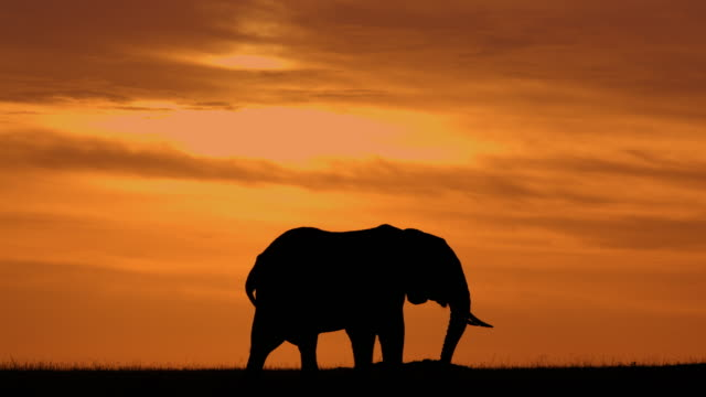 silhouetted elephant grazing with dramatic sky maasai mara, kenya, africa - endangered species stock videos & royalty-free footage