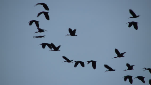 silhouetted flock of ibises fly through sky. - flock of birds stock videos & royalty-free footage