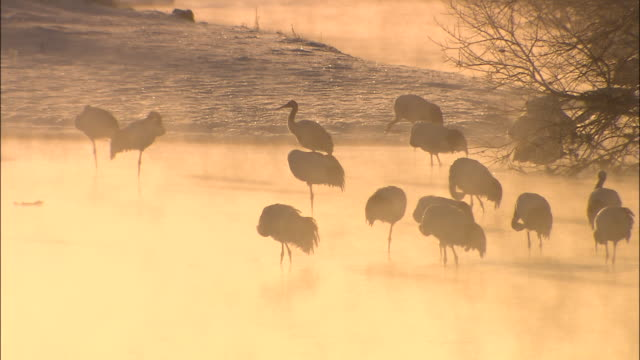 silhouetted flock of japanese red-crowned cranes in shallows of setsuri river, mist rolls over water, kushiro shitsugen wetland, hokkaido - crane stock videos & royalty-free footage
