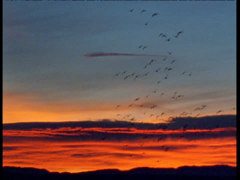 Silhouetted flock of snow geese flies in dusk sky, New Mexico