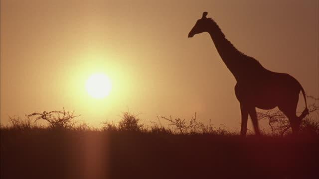 a silhouetted giraffe walks across african grasslands. - giraffe stock videos & royalty-free footage