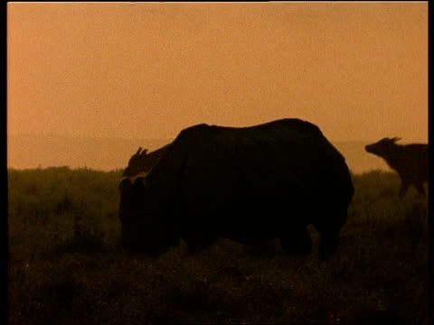 ms silhouetted greater one-horned rhinoceros and indian buffalo grazing in dusk light, india - 絶滅の恐れのある種点の映像素材/bロール