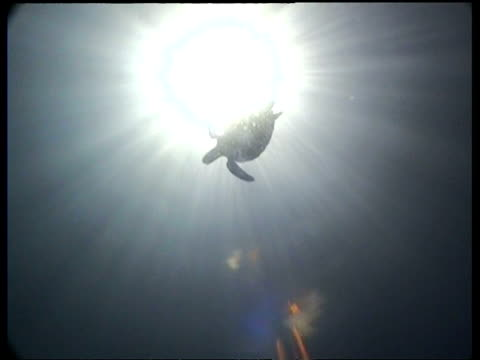 vidéos et rushes de wa silhouetted green turtle overhead, cu swimming away from camera, sipadan, borneo, malaysia - organisme aquatique
