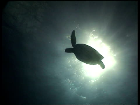 vídeos de stock, filmes e b-roll de ms silhouetted green turtle swims overhead, with sun above, swims away from camera, layang layang, malaysia - organismo aquático