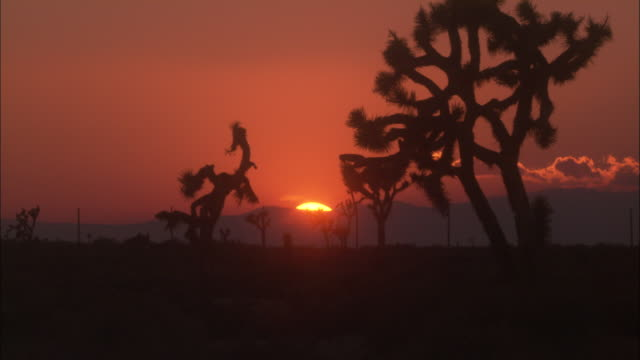 silhouetted joshua trees are seen in the california desert at golden hour. - josuabaum stock-videos und b-roll-filmmaterial