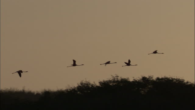 silhouetted line of flamingos fly, isabela, galapagos islands available in hd. - galapagos islands stock videos & royalty-free footage