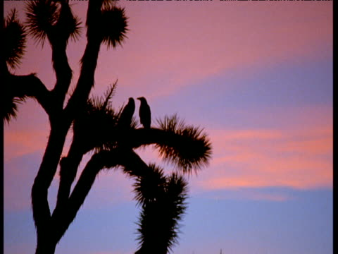 Silhouetted pair of crows in spiny Joshua tree against pink dusk sky, Death Valley, California