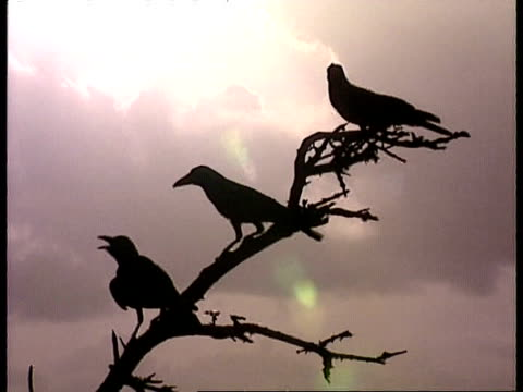 MS 3 silhouetted Ravens on treetop, against sunlit clouds