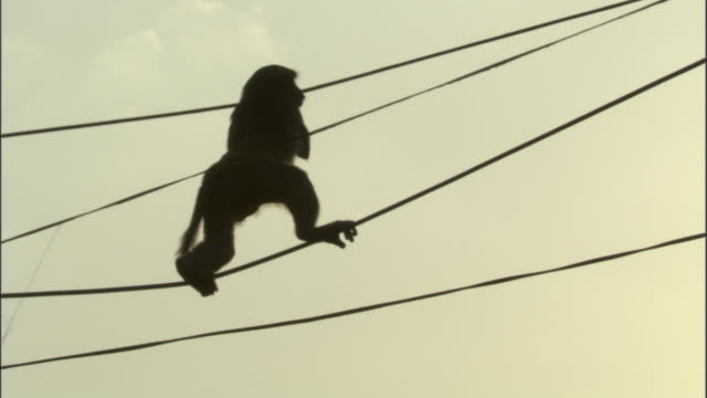 silhouetted rhesus macaque clambers along washing lines, chopta available in hd. - macaque stock videos & royalty-free footage
