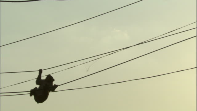silhouetted rhesus macaque clambers along washing lines, chopta available in hd. - upside down stock videos & royalty-free footage