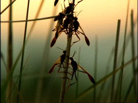 silhouetted sand wasps (ammophila) on stem at dawn, mcu tilt up, usa - オオハマガヤ属点の映像素材/bロール