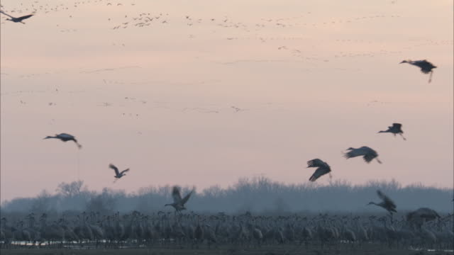 silhouetted sandhill cranes fly over flocks in a marsh. - marsh stock videos & royalty-free footage