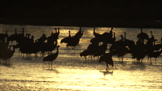 silhouetted sandhill cranes forage in sparkling water. - marsh stock videos & royalty-free footage