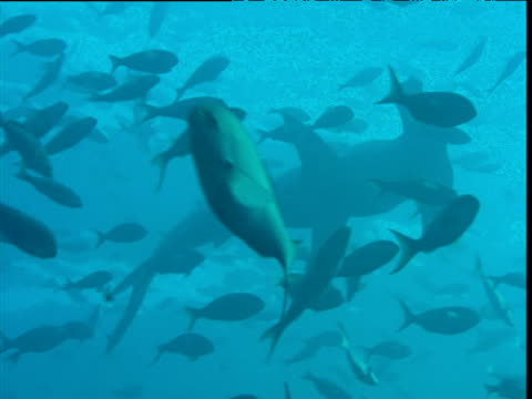 Silhouetted scalloped hammerhead shark swims through fish shoal