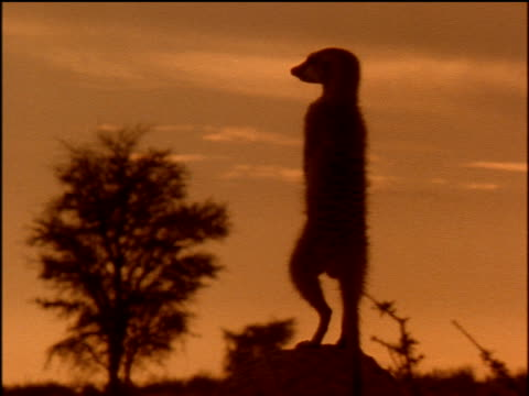 Silhouetted sentry Meerkat surveys Savannah, pinkish sky and silhouetted tree in background