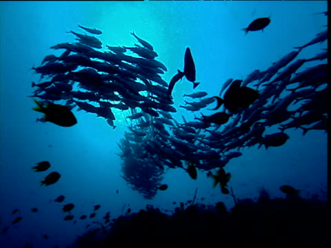 Silhouetted shoal of fishes, Maldives
