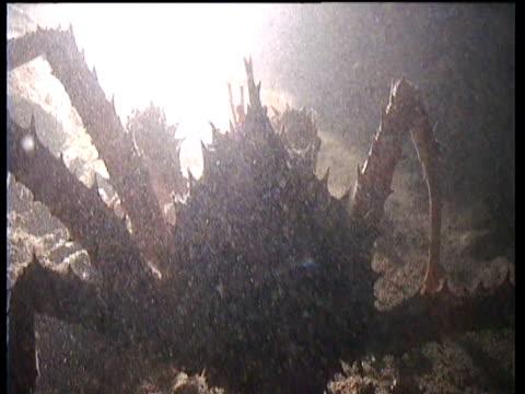 vídeos de stock e filmes b-roll de silhouetted spider crab crawls through murky fjord, norway - objeto pontudo