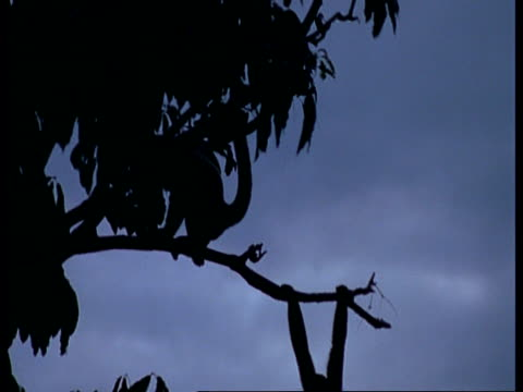 ms silhouetted woolly monkeys playing on branches at dusk, south america - akrobatische aktivität stock-videos und b-roll-filmmaterial