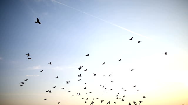 silhouettes of birds flying on the blue sky - songbird stock videos & royalty-free footage