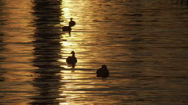 vídeos de stock e filmes b-roll de silhouettes of ducks swimming in early morning glow of the hudson river - grupo pequeno de animais