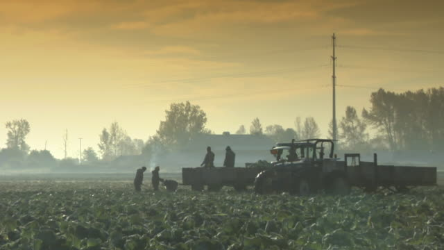 WS Silhouettes of farmers picking up cabbage on field, Richmond, British Columbia, Canada