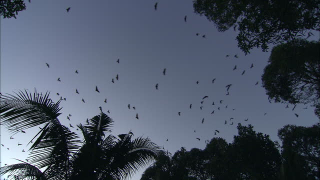 vídeos de stock e filmes b-roll de ws la pan zi silhouettes of flying foxes flying above trees, cambodia - colónia grupo de animais