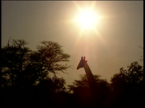 vidéos et rushes de silhouettes of giraffe's neck and head above trees in evening light - cou d'animal