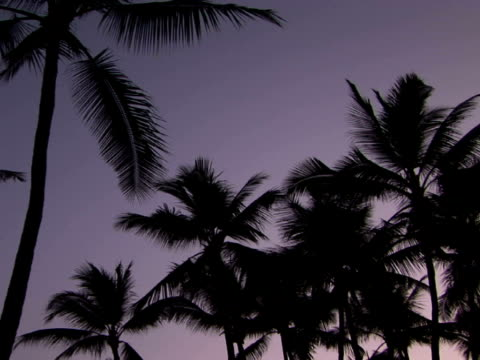 la silhouettes of palm trees against sky, the big island, hawaii, usa - fan palm tree stock videos & royalty-free footage