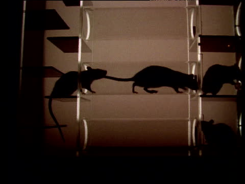 silhouettes of rats crawling around in see through box - rat stock videos & royalty-free footage