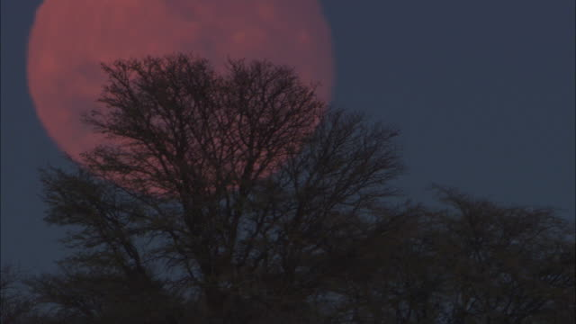ms, silhouettes of trees against large full moon, south africa - the karoo stock videos & royalty-free footage