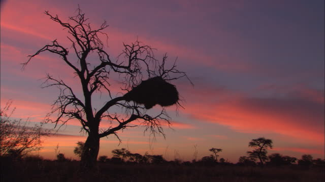 ms, silhouettes of trees in desert against twilight sky, south africa - the karoo stock videos & royalty-free footage