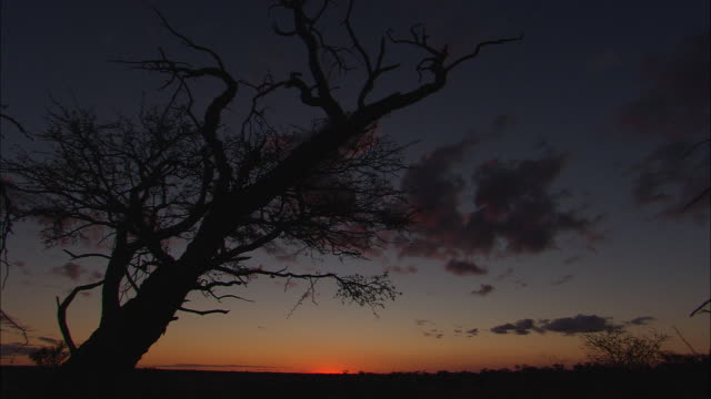ms, silhouettes of trees in desert at sunset, south africa - the karoo stock videos & royalty-free footage