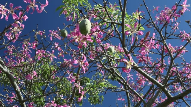 a silk floss tree near foz do iguaçu in brazil which is also called palo borracho or samu'ũ or paineira the flowers are pink towards the tips of... - borracho stock videos & royalty-free footage